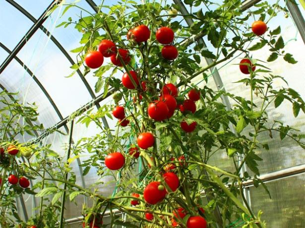 Для любителів пекучої екзотики: ростимо гіркий перець в саду і вдома