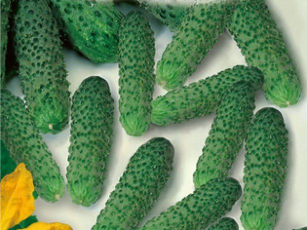Наскільки вони врожайні в тому чи іншому регіоні, ростуть взагалі, наприклад, на уралі або ленінградській області. Їх немає в масовому продажу. Але зараз насінництвом вігни зайнялися відомі вітчизняні виробники. Завдяки їм, ми можемо вирощувати на своїх грядках сорти, пристосовані до російського клімату. Термін їх дозрівання помітно коротше-55-60 днів, а насіння продаються в звичайних магазинах для дачників. Таблиця: російські сорти вігни, її характеристики