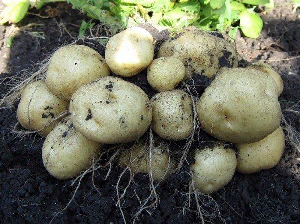 Підвищуємо урожай картоплі з сотки, перевищуючи середню врожайність