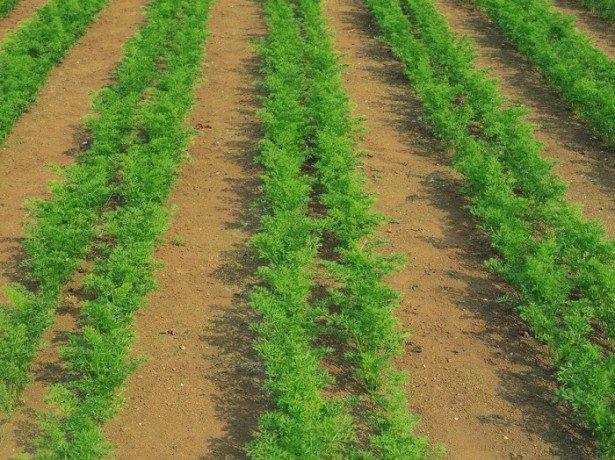Правильне вирощування моркви і догляд: розпушування, проріджування, полив, підгодівля