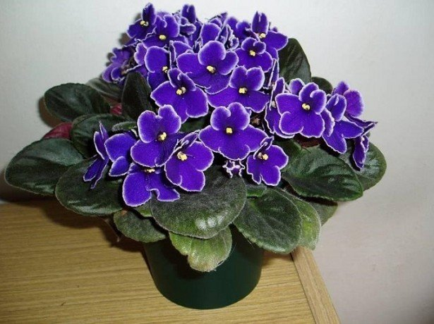 Правильний догляд за фіалками гарантує рясне цвітіння на вашому підвіконні