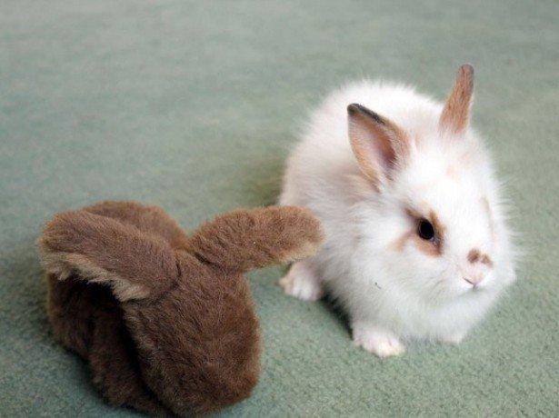 Приручення кролика, дресирування і привчання до лотка