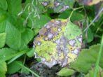 Агрус краснословянський-солодкі ягоди без особливого клопоту
