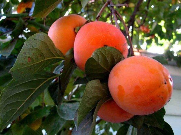 Незвичайне дерево з чудовими плодами-хурма