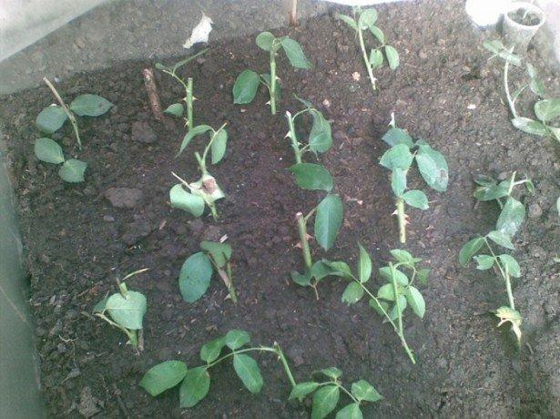 Збільшуємо урожай картоплі за допомогою голландської технології вирощування