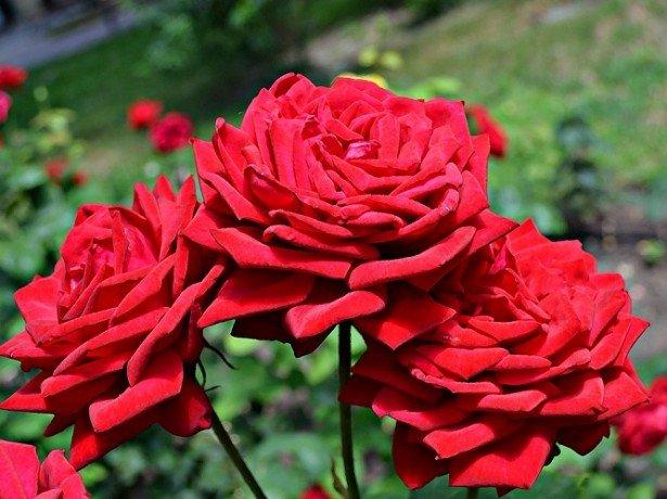 Різнокольорові троянди у вашому саду-від біло-рожевих відтінків до зелених, фіолетових і чорних троянд