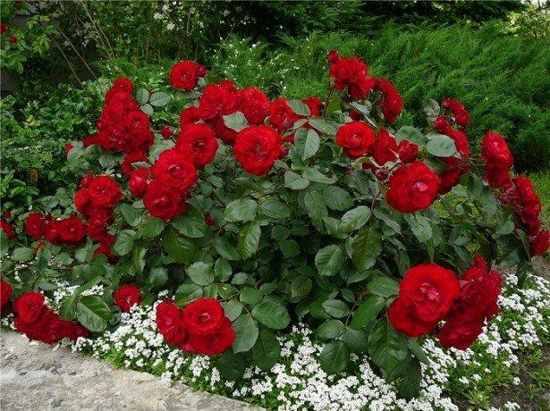 Різновиди троянд сучасні і старовинні-які вибрати для оформлення ділянки?