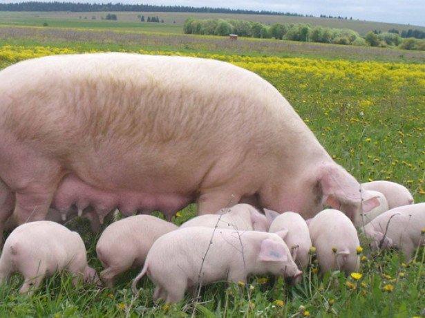 Розведення свиней: вибір породи, злучка, супоросність і опорос