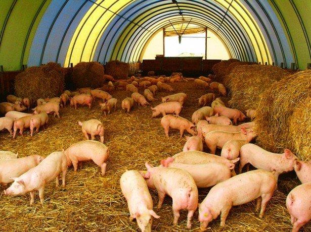 Розведення свиней як бізнес-що потрібно врахувати, щоб домогтися високої рентабельності?