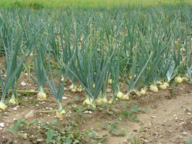 Ріпчаста цибуля, вирощена з чорнушки, - розсадою, весняним і підзимовим посівом