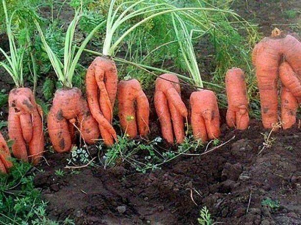 Рогата, волохата, кострубата морква-чому морквина виростає потворною
