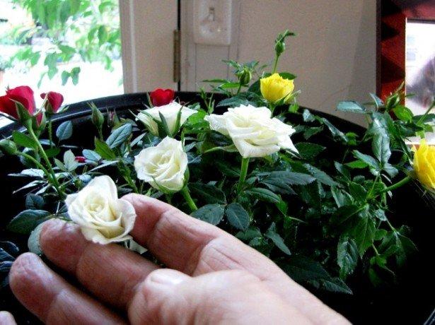 Троянда кімнатна-догляд в домашніх умовах протягом року