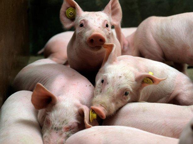 Бешиха, аскаридоз, сальмонельоз, саркоптоз та інші поширені хвороби свиней
