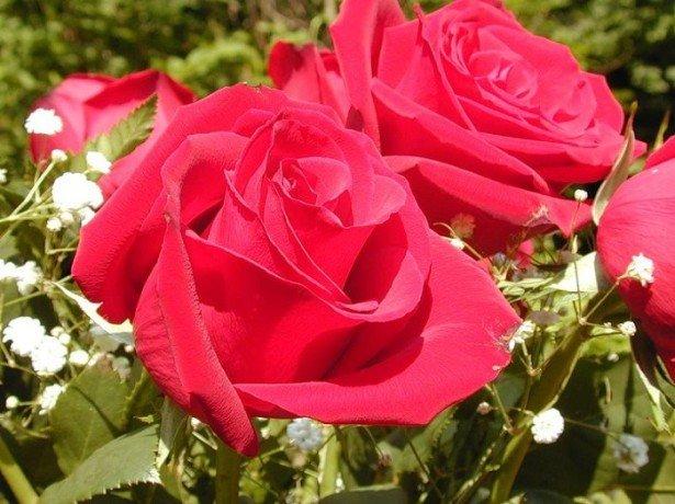 Троянди на продаж - як вирощувати троянди, щоб заробляти на них