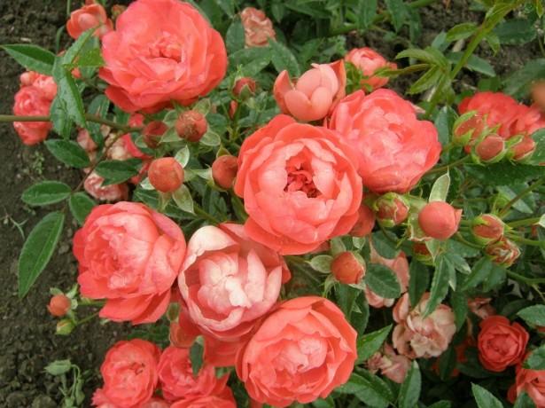 Троянди в горщиках-чи можна виростити прекрасні троянди в домашніх умовах?