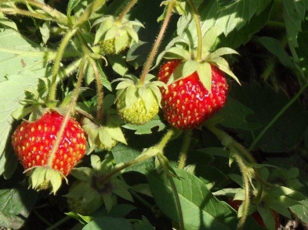 Садова суниця з насіння: висівання, вирощування і пересадка у відкритий грунт