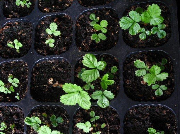 Садова суниця на підвіконні-докладна інструкція по вирощуванню суниці будинку