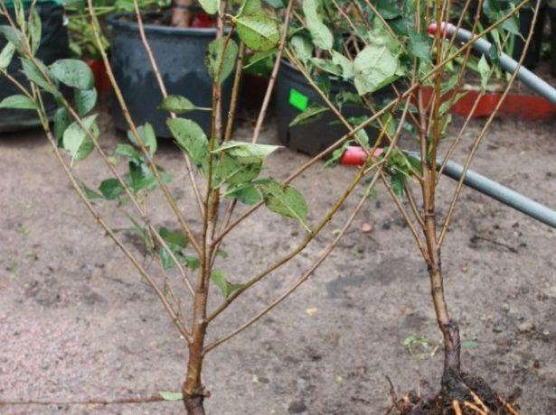 Вишня володимирська: ростимо невибагливий урожайний сорт