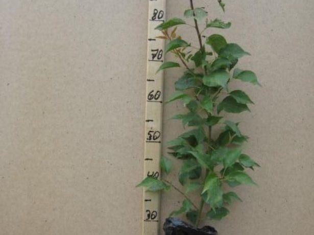 Прогрессировать, но жёлтые участочки остались. Стараюсь регулярно опрыскивать. Поливаю по мере подсыхания земли, прочитала, что не терпит застоя воды у корней. Perfect dream Http://www.floralworld.ru/forum/index.php?topic=732.0 У меня дома 3 цикаса: огромный, средний и маленький. Самый крупный нам подарили уже большим: шишка была примерно 15 см в высоту и 10 см в диаметре. Он уже 2 раза давал новые этажи листьев. Сейчас этот цветок в диаметре (с листьями) примерно 2 м! а длина листа — около 1,3 м. Шишка же в высоту сейчас около 30 см, в диаметре около 20 см. Очень большой. Когда в последний раз появился новый этаж листьев, то они росли прямо на глазах. И длина в 1,3 м выросла буквально за 10 дней. Второй цветок (средний) мне подарили маленьким. Он тоже уже дал дважды новые этажи листьев. Сейчас длина листьев около 1 м. А третий (самый маленький) мне отдала мама. Она залила этот цветок и у него сгнили практически все корни. Я его освободила от земли, отрезала все гнилые корни и 2 суток подсушивала в тени, потом посадила. И вот через пару месяцев смотрю — новые листочки показались! из всех моих цветков только один даёт деток — средний. Видимо, он женского рода. Я стала замечать что на нём образуются маленькие шишечки. Взяла одну и углубила в горшок с фиалкой. Прошло около полугода, я про него забыла, а потом стала фиалку пересаживать и дай, думаю, выкину эту шишку. Смотрю — а она дала корешки!!! цветок красивый, но если хотите его завести у себя дома, то учтите, что ему нужен простор. А в обычной квартире предоставить цветку 3–4 кв. М не каждый может. Так что он лучше подойдёт для загородных домов. Vergo Http://irecommend.ru/content/tsvetok-lyubyashchii-prostor Полтора года назад я тоже купила цикас, ну очень он мне нравится. В книге вычитала, что это одно из самых медленнорастущих цветов, и я приготовилась ждать по одному листу в год, но какого было моё удивление, когда из серединки (а не с боков, как я думала) клубня (назову его так) полезли аж 3!!! листа!!! и что с
