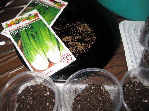 Секрети вирощування кореневої селери
