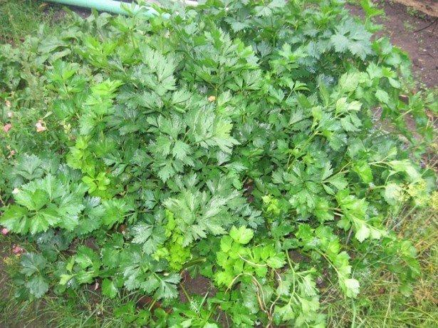 Селера стеблова і листова-кращі сорти для вирощування