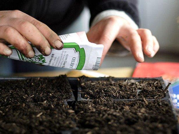 Крес салат: як вирощувати вдома смачну зелень