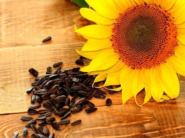 Насіння соняшнику сингента, піонер, лімагрейн - чий посівний матеріал вибрати?