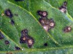 Чорна смородина пігмей: уральська стійкість рослини і південна ніжність ягід