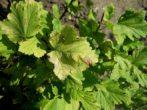 Агрус неслуховський-один з кращих ранніх сортів