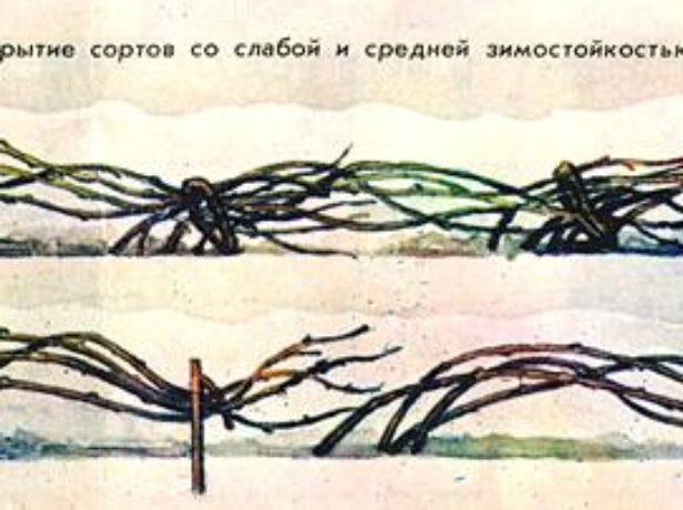 Малина краса росії: якщо красуня не відповідає взаємністю, треба за нею позалицятися.