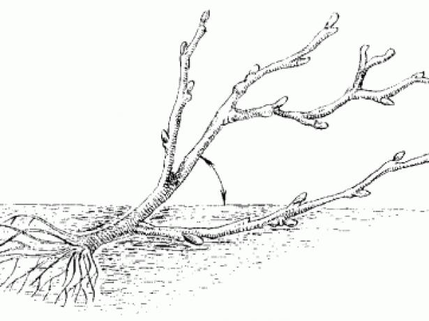 Посадка смородини восени: коли і як провести її грамотно
