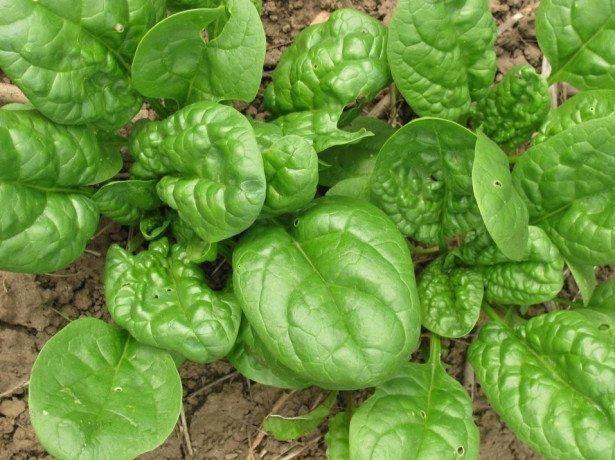 Види шпинату-опис і особливості