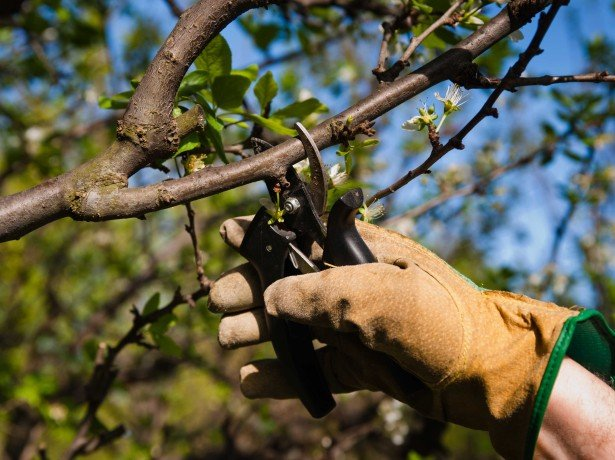 Повстяна вишня посадка і догляд – на що слід звернути увагу початківцю садівникові