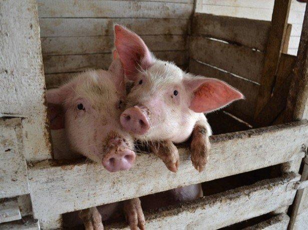 Утримання свиней-про що потрібно знати, щоб домогтися успіху в свинарстві?