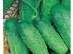 Кращі сорти огірків для консервування, в тому числі голландської селекції