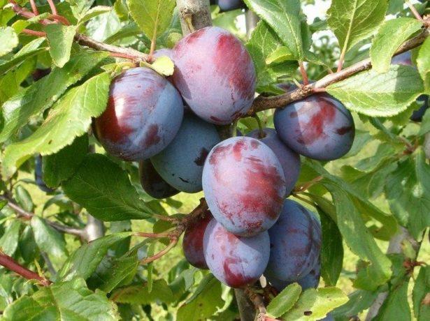Як провести обприскування винограду, щоб і хвороби знищити, і самим не отруїтися