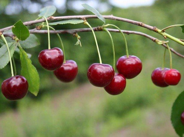 Сорти вишні зимостійкі, врожайні і стійкі до хвороб