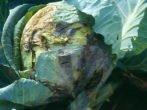 Капуста мегатон f1: ростимо хрусткий голландський гібрид на грядці