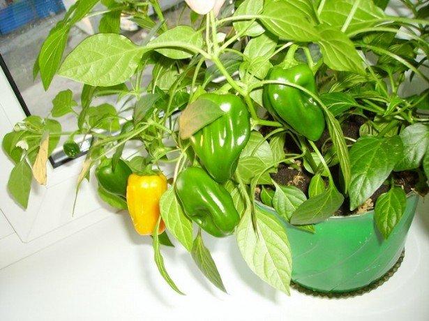 Створюємо город на балконі або на вікні: що вирощувати і як?