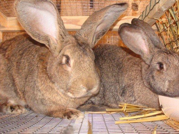 Спаровування кроликів для отримання хорошого приплоду