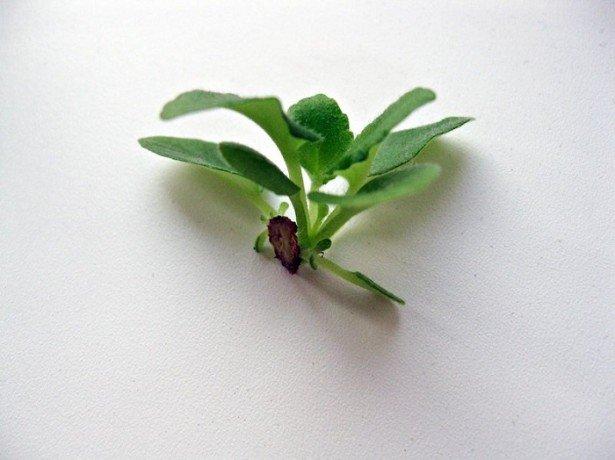 Способи розмноження фіалок: листом, пасинками, квітконосами, насінням