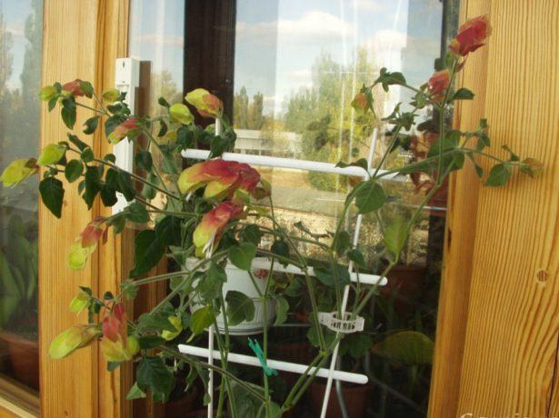 Белопероне: догляд за мексиканською красунею в домашніх умовах