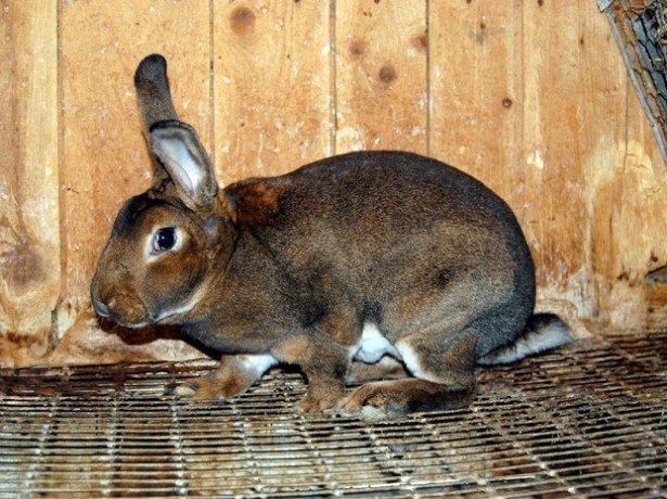 Чи варто каструвати кролика, і як проводиться кастрація (стерилізація) кроликів