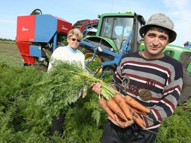 Подзимний посів моркви: як правильно посіяти моркву під зиму
