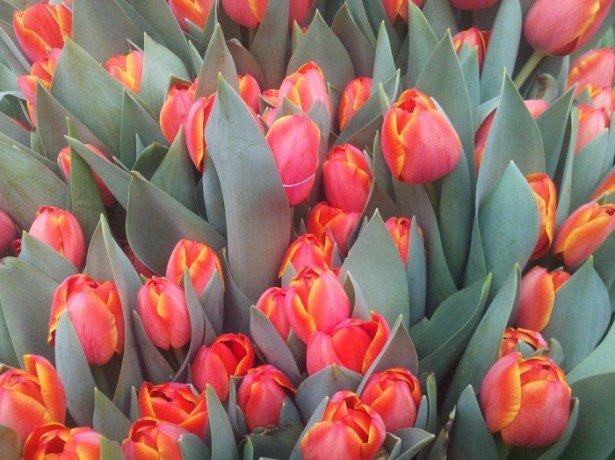 Технологія вигонки тюльпанів в домашніх умовах – як отримувати квіти в будь-який час року