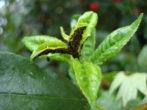 Абрикос фаворит-солодкі і соковиті плоди для всієї родини