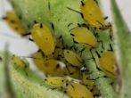 Розсада томатів. Хвороби, шкідники та інші проблеми при вирощуванні