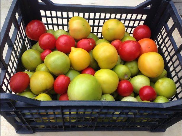 Підживлення помідорів кальцієвою селітрою