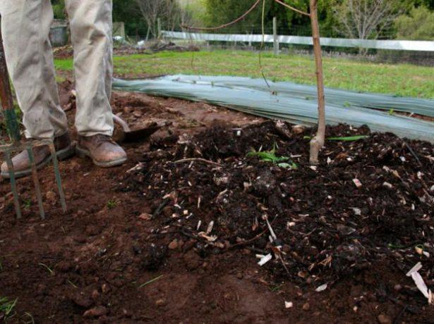 Алича злато скіфів: правила вирощування найсолодшого сорту