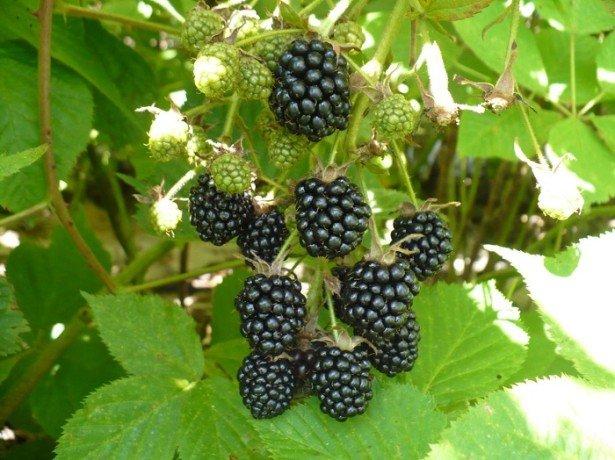 Садова ожина-догляд восени простіше, ніж здається, а врожаї на порядок вище, ніж у малини